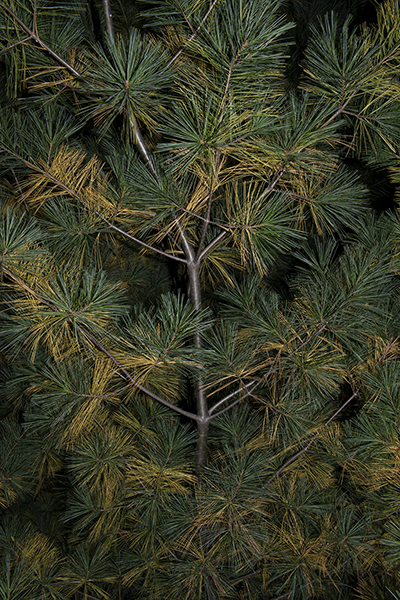 http://www.paulamccartney.com/files/gimgs/25_yellow-needles-in-pine.jpg
